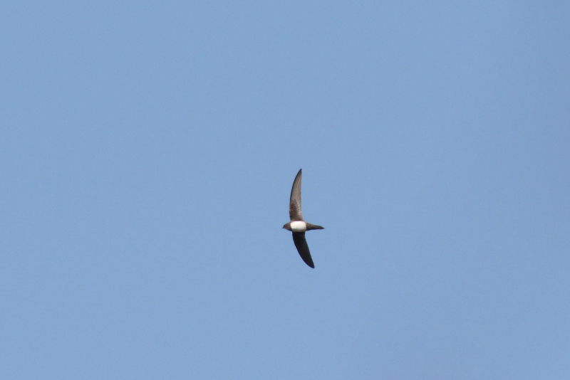 Alpengierzwaluw over De Mient (Ed Schouten)